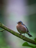 Chaffinch in tree. Chaffinch perched in a tree Royalty Free Stock Photography