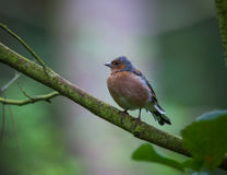 Chaffinch in tree Royalty Free Stock Photo