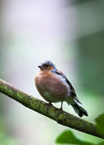 Chaffinch in tree. Chaffinch perched in a tree Stock Photo