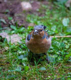 Chaffinch in tree. Chaffinch perched in a tree Stock Photography