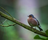 Chaffinch in tree Royalty Free Stock Photography