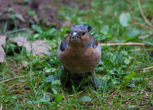 Chaffinch in tree Stock Image