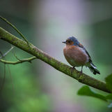 Chaffinch in tree. Chaffinch perched in a tree Stock Photos