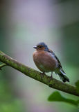 Chaffinch in tree. Chaffinch perched in a tree Royalty Free Stock Photo