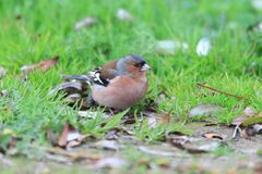 Chaffinch  in Turkey Stock Photography