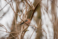 Chaffinch on a twig in the winter Royalty Free Stock Image