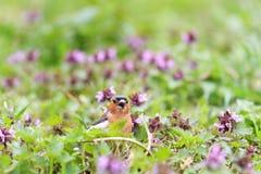 Chaffinch, welches das Lied von rosa Blumen singt Stockbild