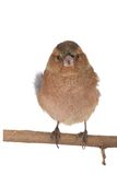 Chaffinch Royalty Free Stock Images