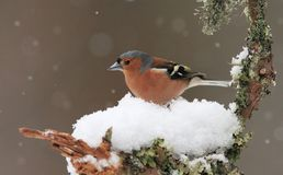 Chaffinch in Winter. A Chaffinch (Fringilla coelebs) sitting on a snow covered branch in winter with falling snow in the background stock images