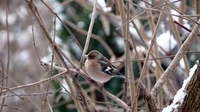 Chaffinch in winter scenery Royalty Free Stock Image