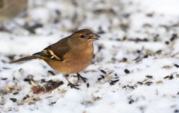 Chaffinch - wintertime and sunset Royalty Free Stock Image