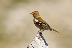 Chaffinch on the Wood Stock Image