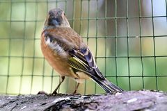 Chaffinch in the zoo colorful royalty free stock images