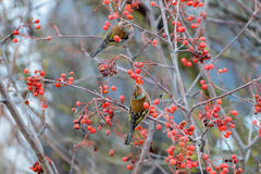 Chaffinches eats the berries Stock Photography