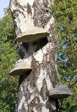 Chaga蘑菇 库存图片