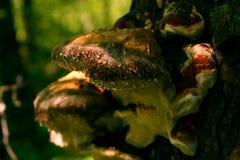 Chaga гриба на дереве в лесе Стоковое Изображение RF