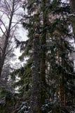 在残破的桦树的Chaga蘑菇在冬天森林里 免版税库存照片