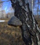 Chaga, ein Pilz, der auf den Bäumen, bequem vereinbart auf einem Birkenstamm wächst Das Foto wurde mit natürlichem Licht gemacht stockfotografie