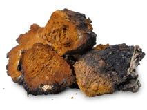 Chaga (Inonotus obliquus) - medicinal birch fungus Stock Images