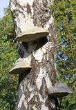 Chaga mushroom Stock Image