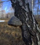 Chaga, a mushroom growing on trees, comfortably settled on a birch trunk. The picture was taken with natural light. stock photography