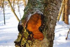 Chaga-Pilz auf Baum nach Ernte Stockbilder