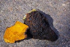Chaga-Pilz-Klumpen, die draußen trocknen Stockfoto
