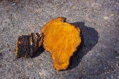 Chaga-Pilz-Klumpen, die draußen trocknen Stockfotos