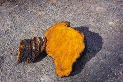 Chaga-Pilz-Klumpen, die draußen trocknen Lizenzfreies Stockfoto