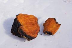 Chaga-Pilz-Klumpen, die im Schnee trocknen Lizenzfreie Stockbilder