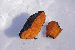 Chaga-Pilz-Klumpen, die im Schnee trocknen Stockbild