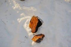 Chaga-Pilz-Klumpen im Schnee Stockbild
