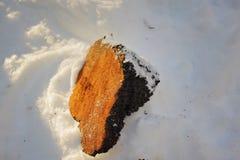 Chaga-Pilz-Klumpen im Schnee Lizenzfreies Stockfoto