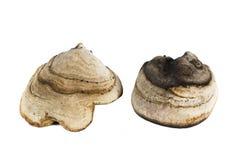 Chaga-Pilznahaufnahme lokalisiert auf weißem Hintergrund Stockbilder