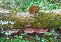 Chaga que crece en un árbol de abedul caido Imagenes de archivo