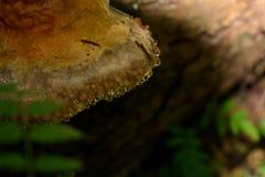 Chaga w rosie na drzewie obraz royalty free