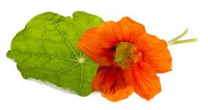 A chagas floresce o tropéolo isolado em um branco Imagens de Stock Royalty Free