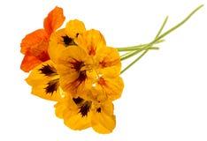 A chagas floresce o tropéolo isolado em um branco Fotos de Stock Royalty Free