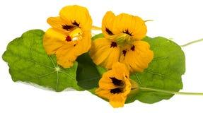 A chagas floresce o tropéolo isolado em um branco Foto de Stock