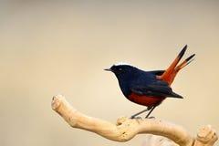 Chaimarrornis leucocephalus Royalty Free Stock Images