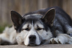 Chain dog, lying on the sidewalk near a wooden fence Royalty Free Stock Photo