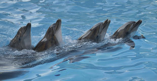 Chain of dolphins in dolphinarium. Chain of four dolphins dancing in dolphinarium royalty free stock image