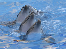 Chain of dolphins in dolphinarium. Chain of four dolphins dancing in dolphinarium stock photo