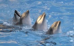 Chain of dolphins in dolphinarium. Chain of four dolphins dancing in dolphinarium royalty free stock photos