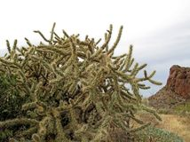 Chain Fruit Cholla cactus in Organ Pipe Cactus National Monument, Arizona, USA. Chain Fruit Cholla cactus in Organ Pipe Cactus National Monument, Ajo, Arizona stock photography