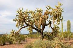 Chain Fruit Cholla cactus in Organ Pipe Cactus National Monument, Arizona, USA. Chain Fruit Cholla cactus in Organ Pipe Cactus National Monument, Ajo, Arizona Royalty Free Stock Photo