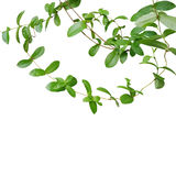 Chain of green leaf vines isolated on white background, clipping Stock Image
