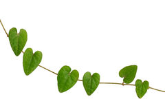 Chain of heart-shaped green leaf vine, Raphistemma hooperianum ( Royalty Free Stock Images