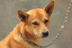 chain hund Arkivfoton