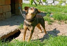 chain hund Fotografering för Bildbyråer